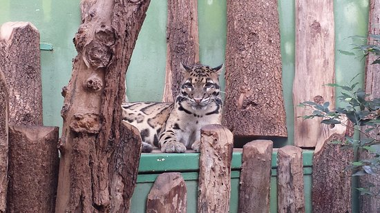 prague zoo big cute cat name s ocelot