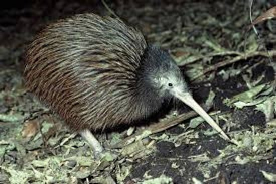 Район Нортленд, Новая Зеландия: Native North Island Brown Kiwi