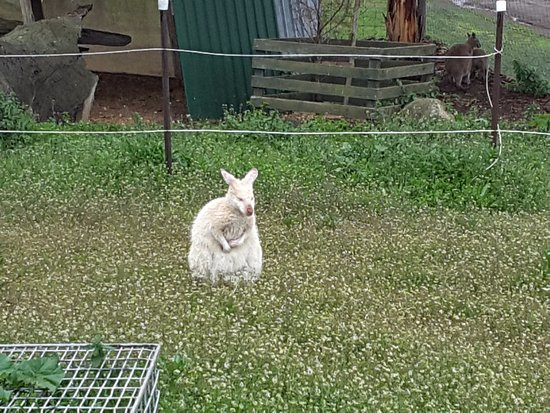 Richmond, Australien: white wallaby