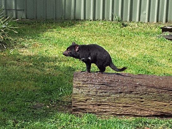 ริชมอนด์, ออสเตรเลีย: Tassie Devil