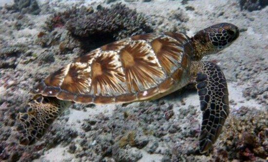 Denarau Island, Fiji: They call me turtle