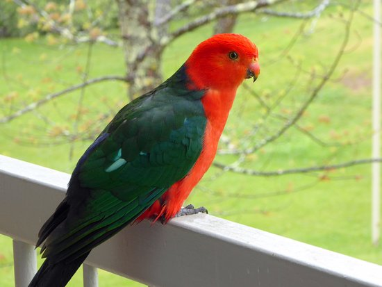 Bright, Australia: Parrot on our Balcony.