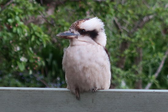 Olinda, Australia: Friendly Kookaburra on the cottage deck.