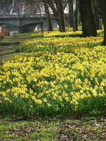 Spring daffodils, Bute park