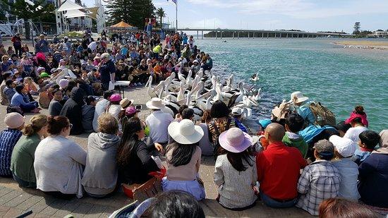 The Entrance, Australië: Hora de la comida para los pelicanos
