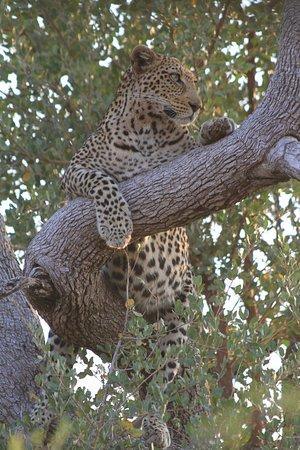 Tuningi Safari Lodge: Tsala - beautiful female leopard surveying her kingdom