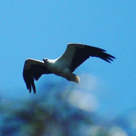 Caloundra, Australia: Sea Eagle mid flight