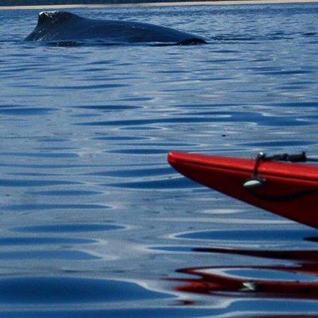 Caloundra, Australia: Curious whales
