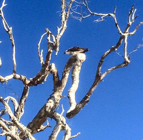 Caloundra, Australien: Osprey