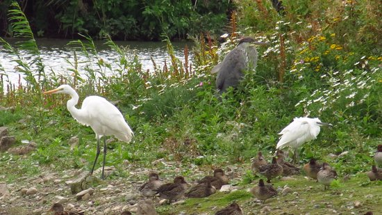 Llandudno Junction, UK: Great and Little Egrets with Heron