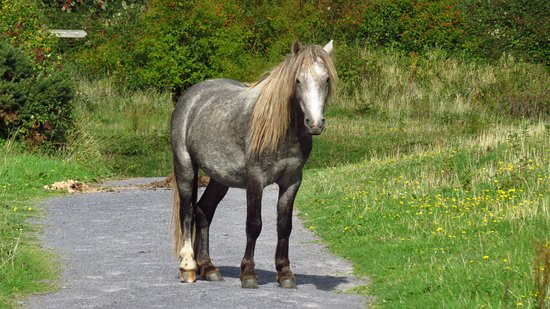 Llandudno Junction, UK: One of the site ponies deciding we should go another way!