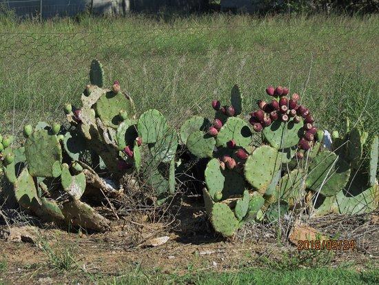 Portales, Nouveau-Mexique : cactus