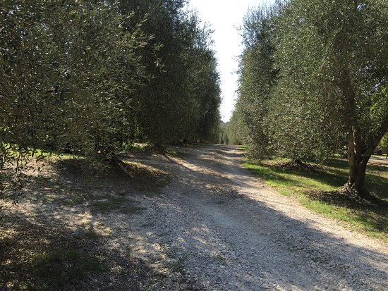 Montemerano, Italia: viale con ulivi