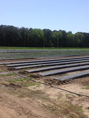 Mount Pleasant, SC: Produce field @ the Plantation