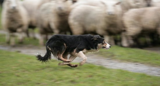Annamoe, Irlanda: Spike the sheepdog rounding up the flock