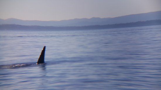 Cowichan Bay, Canadá: SHARK, Not! Our guide tells us the Dorsal Fin on these Orca Whales can exceed 6' tall.