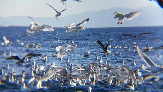 Cowichan Bay, Canada : Frankly, we were hoping for a Minky to appear, but watching this natural feeding behavior ROCKED