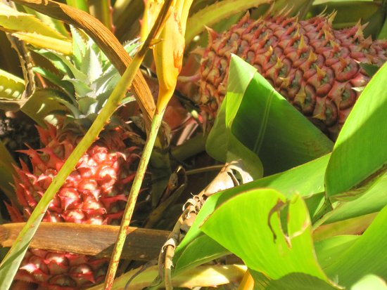 Wahiawa, HI: Dole Plantation showing one of the pineapple species