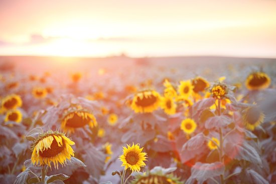 Rosebud, SD: Sunflowers in Summer