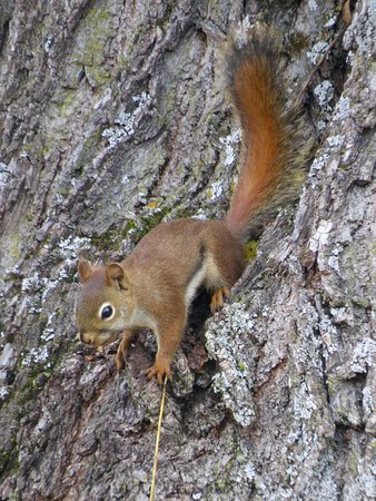 Arlington, VT: A local squirrel