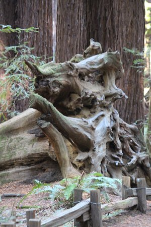 Guerneville, Califórnia: Amazed by the size of trees, stumps and roots!