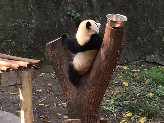 Chongqing, Kina: Panda showing off