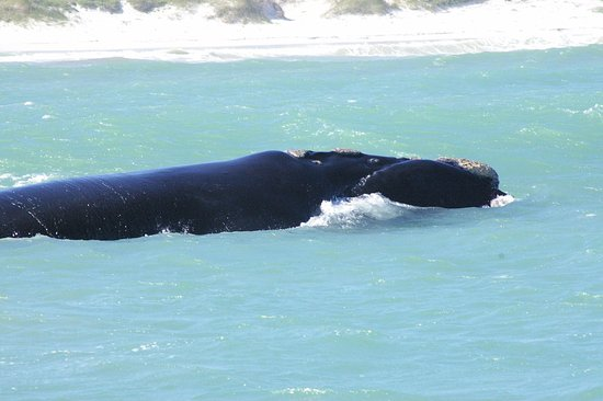 Gansbaai, Sudáfrica: Southern Right Whale between the boat and the beach