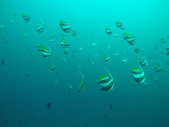 Tofo, Mozambique: Beautiful school of banner fish during a dive