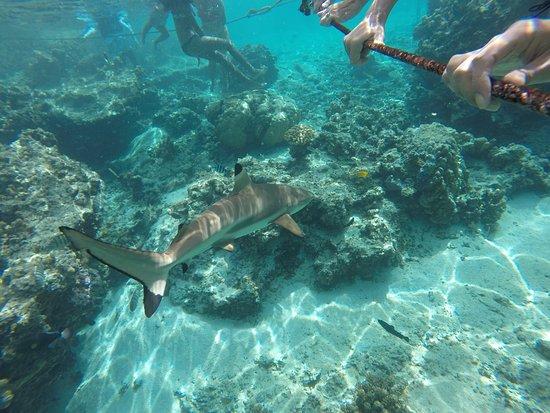 Moorea, Polynésie française : Requin à pointe noire (pas du tout agressif)