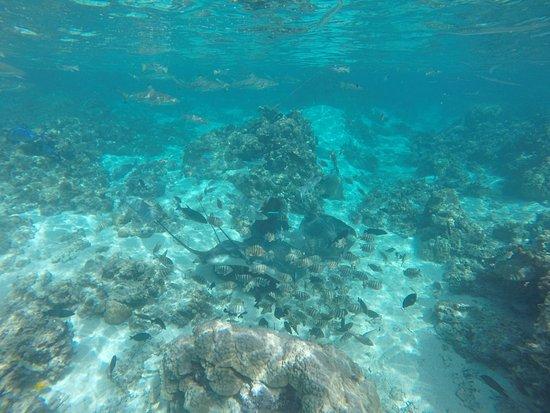 Moorea, Polynésie française : Wilfried au fond du jardin de corail en train de nourir les raies