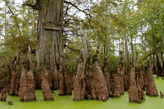 Ullin, Илинойс: Cypress tree almost 900 years old with over 200 knees
