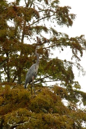 Ullin, IL: Great Blue Heron