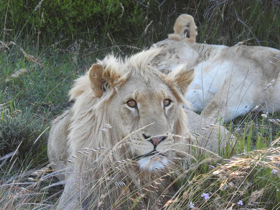 Addo Elephant National Park, Sudáfrica: Junger Löwe
