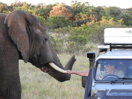 Addo Elephant National Park, Sudáfrica: Elefant