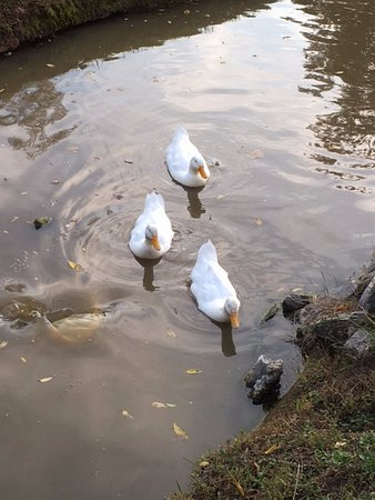 Lynchburg, VA: Resident Quackers in the Koi Pond