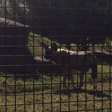 Salina, KS: Wild Dogs viewing us