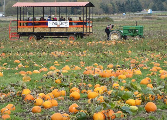 Mount Vernon, WA: I'm sure the kids had a ball being driven around the pumpkin patch
