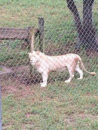 Moseley, VA: Beautiful lion