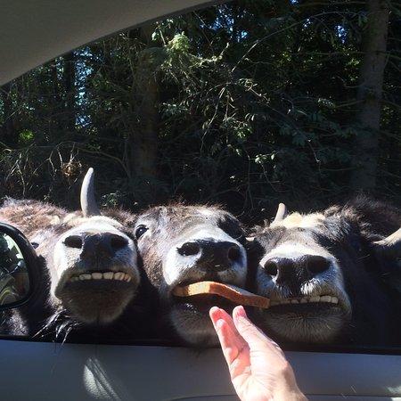 Sequim, WA: Smiling Yaks
