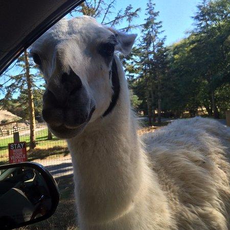 Sequim, WA: Llama