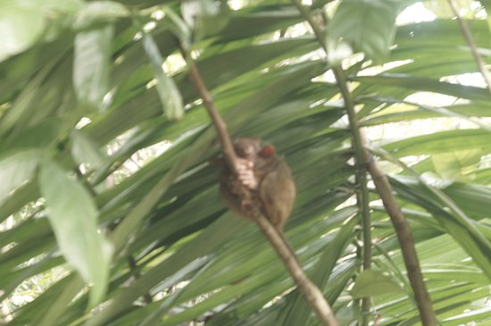 Loboc, Filipinas: the smallest monkey in the world