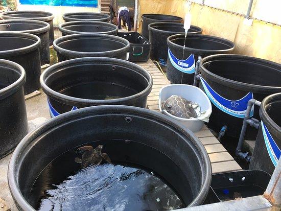 Injured sea turtle in the treatment centre - Billede af ...