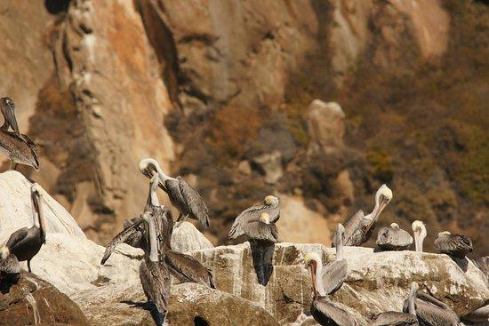 Sub Sea Tours and Kayaks: Pelikane auf Steinen