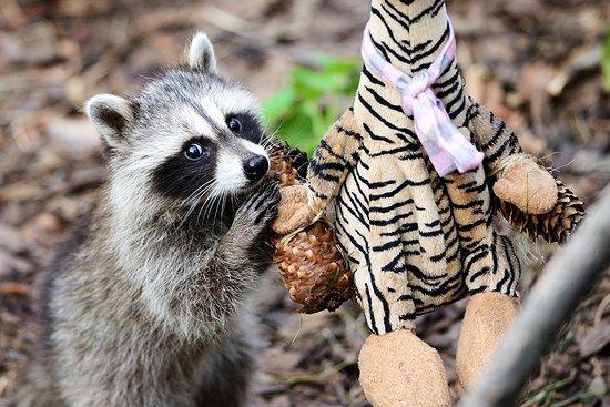 Калининградский зоопарк: Енот стеснительно потрошит шишку