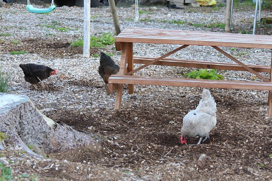 Garalapin House Bed & Breakfast: Outside shot. Chicken walking around happily.