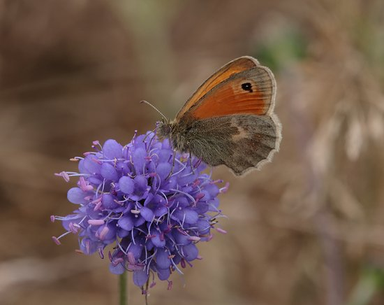 Costa Blanca, Espagne : small heath