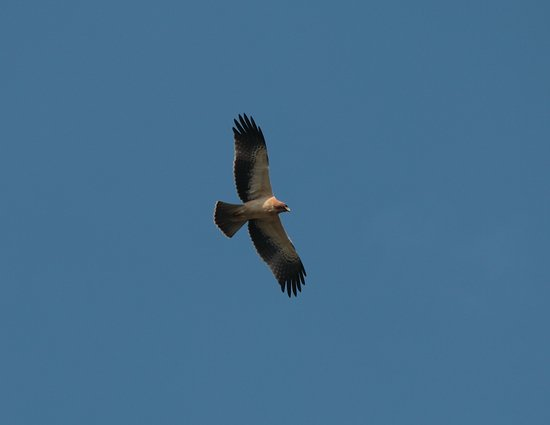 Costa Blanca, Spanien: booted eagle