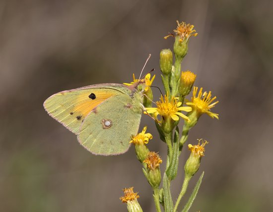 Costa Blanca, España: clouded yellow