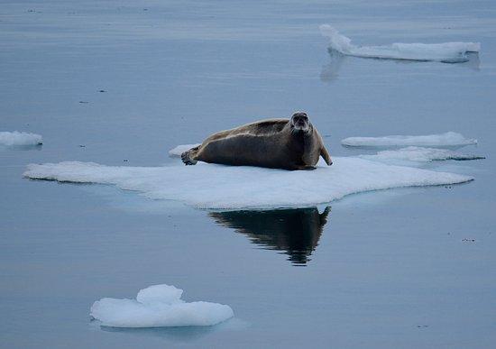 Nunavut, Canadá: A bearded seal on ice