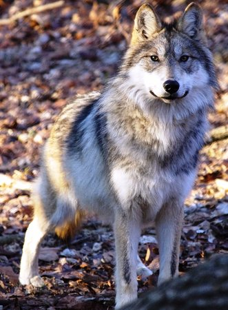 Eureka, MO: Rogue, a female Mexican wolf at the Endangered Wolf Center near St. Louis, Missouri.
